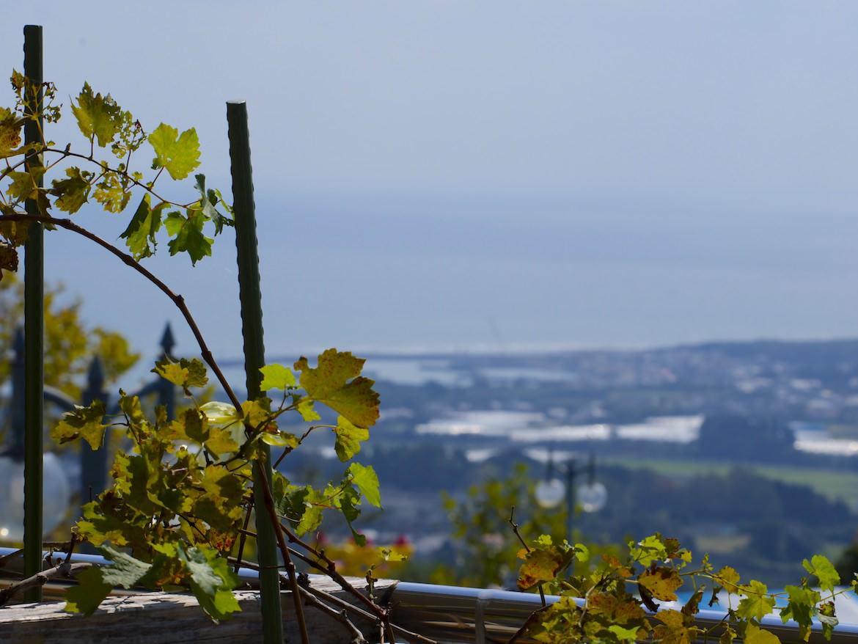 都農ワインのブドウ農園
