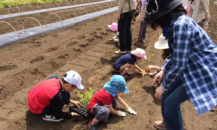 トウモロコシの苗植え
