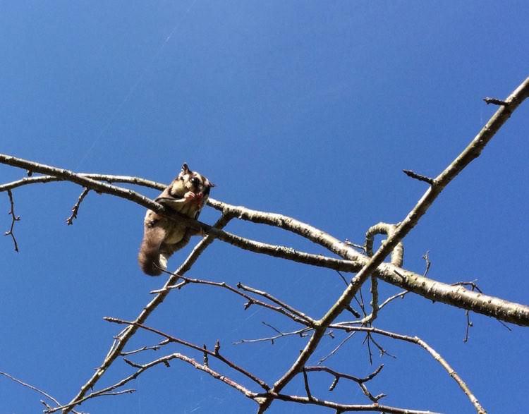 フクロモモンガの木登り